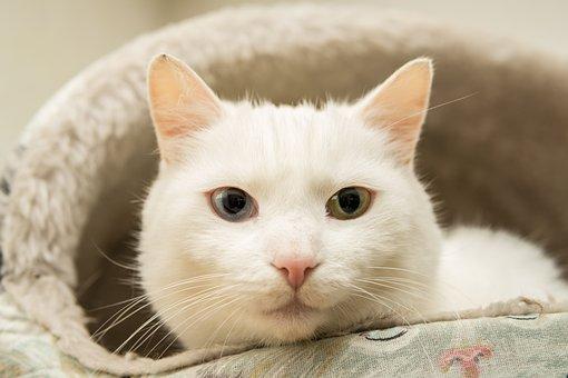 Cat, White, Eyes, Green, Blue, Breed Cat, Pet, Kitten