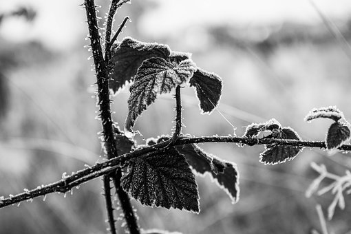 Leaves, Frost, Nature, Winter, Cold, Frozen, Ice, Spur