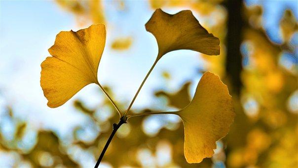 Background, Autumn, Ginkgo, Yellow, Blue Sky