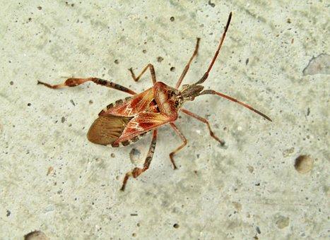 American Pine Bug, Brown, Bug, Pine Bug, Insect, Beetle