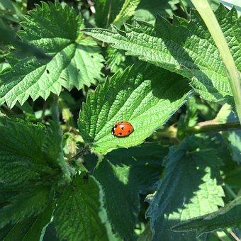 Ladybug, Nettle, Nature, Green, Foliage, Red