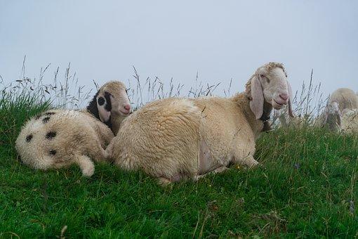 Sheeps, Clouds, Fog, Landscape, Nature, Mountains