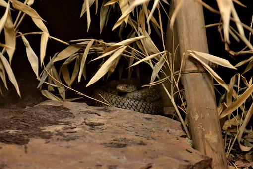 Mamba, Snake, Viper, Reptile, African, Rattlesnake