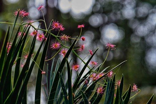 Drosera, Sun Dew, Australian, Native, Nature, Flower