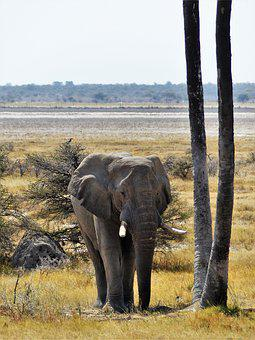 Elephant, Grey, Animal, Pachyderm, Proboscis, Africa
