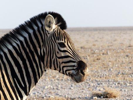 Zebra, Zebra Crossing, Africa, Close