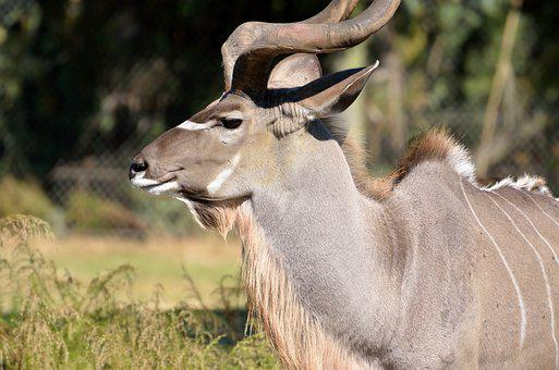 Great Kudu, Wildlife, Africa, Wild, Nature, Kudu