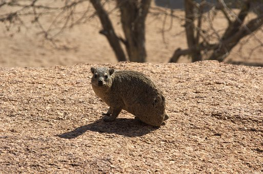 Hyrax, Nager, Rodent, Smile, Friendly, Africa, Namibia