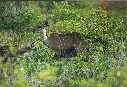 Mammal, Antelope, Large Kudu, Strepsiceros, Africa