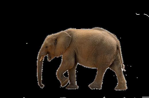 Elephant, Baby Elephant, African Bush Elephant, Namibia