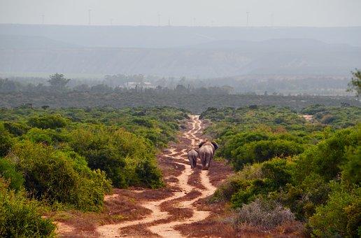 Africa, Safari, Elephant, African Bush Elephant