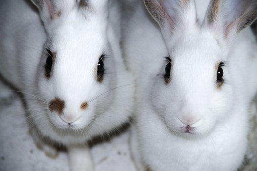 Rabbit, White Rabbit, Rabbits, Animal, Cute, Sweet