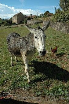Donkey, Chicken, Animals, Hen, Farm, Grass, Poultry