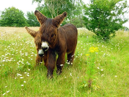 Donkey, Dog Eared, Two, Ass Couple, Long Haired