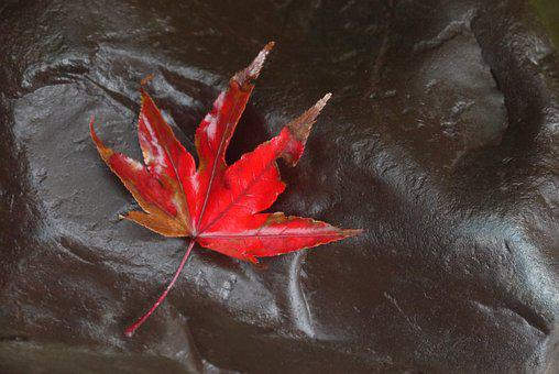 Maple, Fall, Leaf, Red, Autumn Leaves, Red Leaf, Leaves