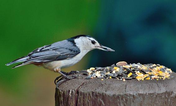 Nuthatch, White-breasted Nuthatch, Bird, Feeding