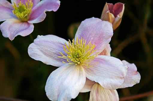 Clematis, Blossom, Bloom, Bloom, Flower, Close, Pink