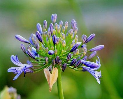 Agapanthus, Flower, Florets, Buds, Blue, Dainty, Garden