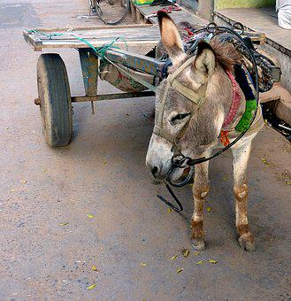 Means Of Transport, India, Cart, Donkey, Last, Dare