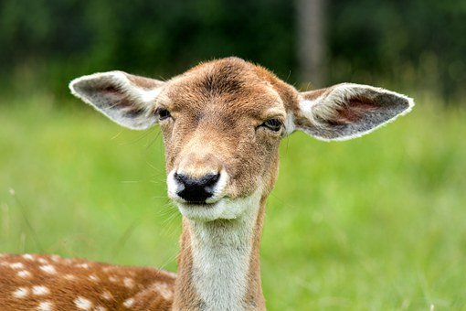 Doe, Hirsch, Female, Oversleeping, Confused, Prick Ears