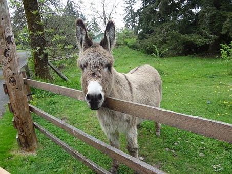 Donkey, Braying, Animal, Mule, Domestic, Buddy The Mule