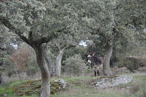 Encina, Donkey, Nature