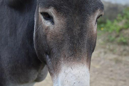 Donkey, Head, Close Up, Eyes, Forehead