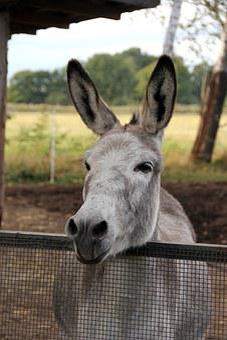 Donkey, Horse, Smart, Pasture, Animals, Ride, Nostrils