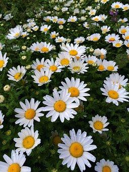 Daisy, Rain, Drop Of Water, Water, Margaret, Flowers