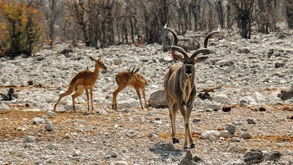 Kudu, Africa, Namibia, Nature, Dry, National Park