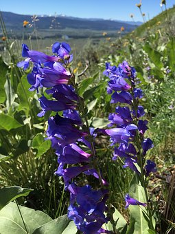 Beardtongue, Blue Penstemon, Flower, Wyoming