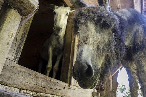 Donkey, Domestic Donkey, Perissodactyla, Funny, Africa