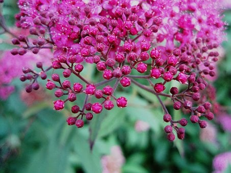 Flowers, Head, Pink, Small, Bright, Buds, Garden