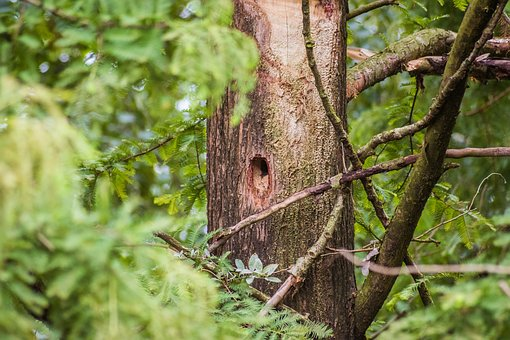 Woodpecker, Hole, Bird's Nest, Woodpecker Hole