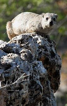 Hyrax, Rock, Namibia, Animal