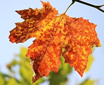 Autumn, Autumn Leaf, Leaves, Foliage Leaf, Leaf
