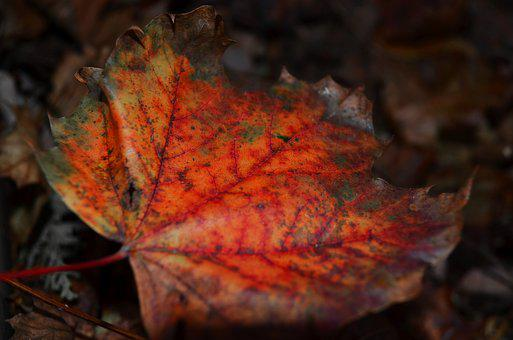 Leaf, Maple, Red, Autumn, Fall, Nature, Leaves, Tree