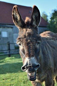 Donkey, Animal, Mammal, Head, Frontal Shot