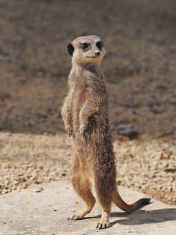 Meerkat, Standing, Portrait, Lookout, Look, Looking