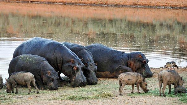 Hippopotamus, Africa, Namibia, Nature, Dry