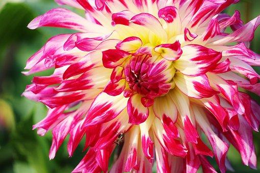 Aster, Flower, Bloom, Plant, Blossom, Bloom, Nature