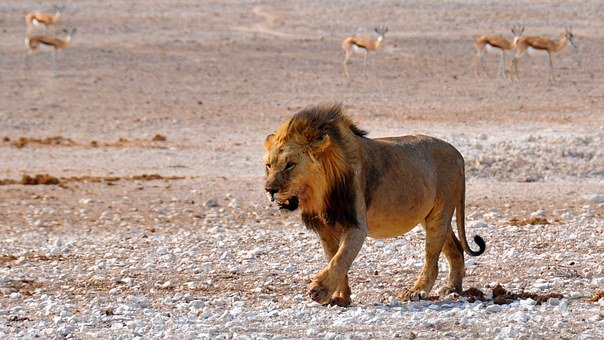 Lion, Africa, Namibia, Nature, Dry, National Park