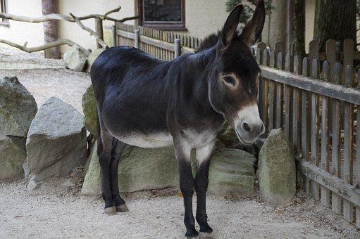 Donkey, Stubborn, Farm, Animal, Ungulate, Petting Zoo