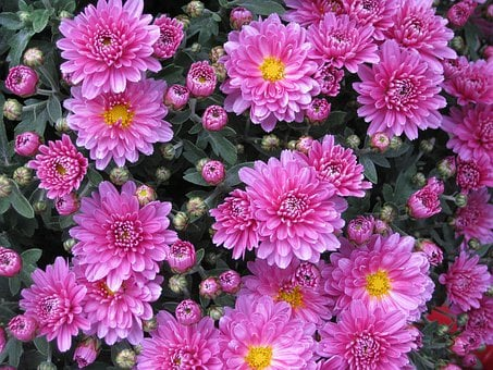 Smooth Leaf Aster, Aster, Chrysanthemum, Flower, Pink