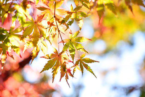Japan, Landscape, Natural, K, Wood, Autumn, Plant, Leaf