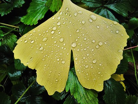 Ginkgo Leaf, Raindrop, Fan-shaped Leaf, Fan Shaped