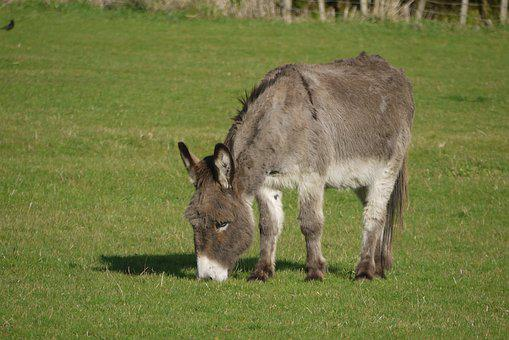 Donkey, Animal, Grazing, Farm, Cute, Rural, Young, Ass