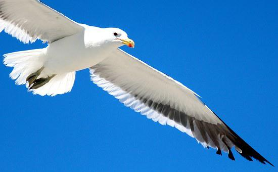 Gull, Flight, Sky, Feather, Bird, Fly, Nature, Free