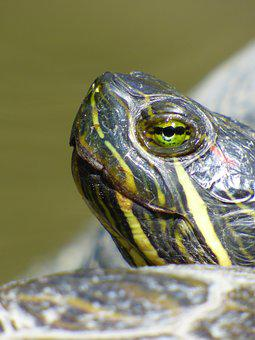 Turtle, Animal, Close-up, Natural, Wide, Striped