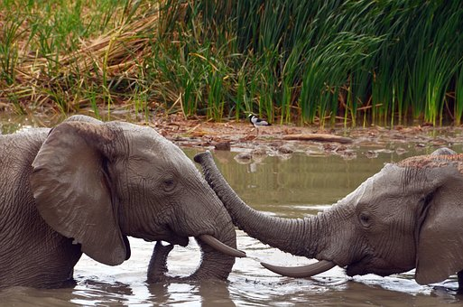 Africa, Elephant, African Bush Elephant, Water